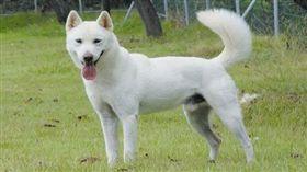 珍島犬/韓國觀光公社