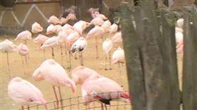 ▲美國男童虐死一隻紅鶴還無悔意。(圖/翻攝自《Mirror》) http://www.mirror.co.uk/news/world-news/gang-kids-kick-flamingo-death-10025926