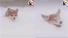 柯基犬Cooper在雪地裡開心玩耍。(合成圖/翻攝自The dodo臉書)