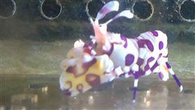 海水蝦,白襪蝦,顏色,魚,蝦,水族箱 圖/中央社