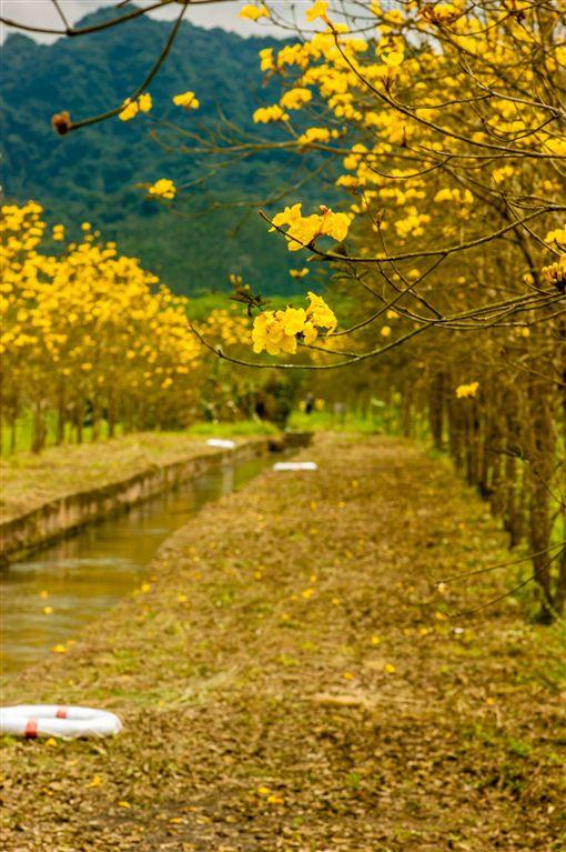 花蓮旅遊,黃花風鈴木,黃金風鈴木,賞花。(圖/翻攝自花東縱谷國家風景區FB粉絲頁)