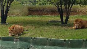 墨西哥,野生動物園,攻擊遊客,獅子,母獅,尖叫,飛撲 圖/翻攝自每日郵報
