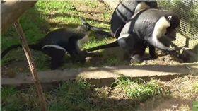 猴子,母猴,Twycross Zoo,英國 圖/翻攝自YouTube