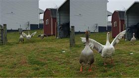 4隻鵝衝到飼主面前討抱。(合成圖/翻攝自UNILAD臉書)