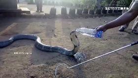 蛇王討水喝1600