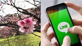 LINE、櫻花(圖/資料照、LINE官網)