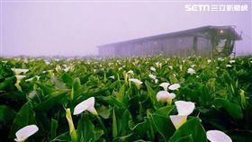 陽明山竹子湖海芋。(圖/北市產業發展局提供)