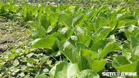 蔬菜,蔬果,纖維,農藥,青菜(圖/記者楊晴雯攝)