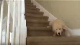 小黃金下樓梯不小心跌倒。(圖/翻攝自YouTube)