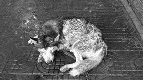 哈士奇,狗,虐待(圖/翻攝自萌寵大事件/圖片經變色處理)