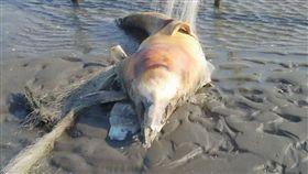 白海豚遭漁網纏身慘死。(圖/翻攝自臉書爆料公社)