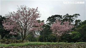 淡水天元宮櫻花已進入盛開期。(圖/淡水警分局提供)