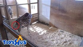 長頸鹿生寶寶/Animal Adventure Park YouTube