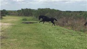 鱷魚,馬,黑馬,佛羅里達,短吻鱷 圖/翻攝自YouTube