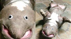 影/發現新物種?扁身、圓眼露詭異笑容 竟是比特犬被惡搞。資料來源pitbullsofinstagram instagram