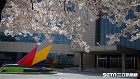 韓國旅遊,韓亞航空,空姐,訓練中心,櫻花,賞櫻,櫻花隧道。(圖/記者簡佑庭攝)