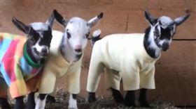 羊,寵物,毛孩,萌,愛上毛們 (圖片來源:臉書@Go Animals)