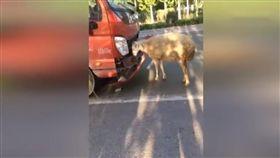 大陸,羊,貨車(圖/翻攝自YouTube)