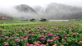 陽明山竹子湖地區繡球花季(圖/翻攝臉書海芋季)