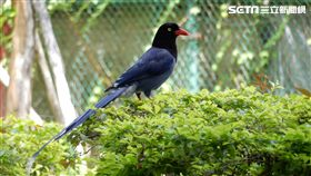 台灣藍鵲(圖/台北市動保處)
