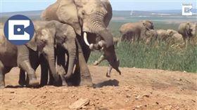 南非國家公園,大象,霸凌(圖/翻攝自YouTube)