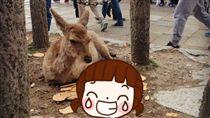 奈良,鹿,日本,餵食,鹿仙貝,餅乾,搶食 圖/翻攝自網友nnagissa推特https://goo.gl/7qSgd7