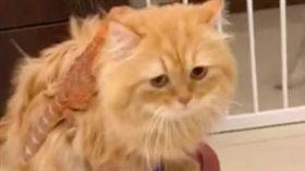 陳維維飼養的胖虎不怕掃地機器人,坐在上頭悠游在客廳中,背後意外有隻蜥蜴乘客。(圖/翻攝陳維維臉書)