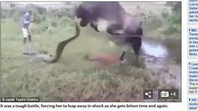 ▲母牛替小牛復仇。(圖/翻攝自《每日郵報》) http://www.dailymail.co.uk/news/article-4485228/Shocking-moment-angry-mother-cow-attacks-anaconda.html