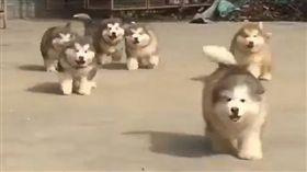 月月,哈士奇,寵物,毛孩,萌,愛上毛們 (圖片來源:臉書@บ้านหมายักษ์ Giant Alaskan Malamute By Siam Thailand Dog Chiang Mai)