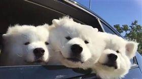 薩摩耶,狗,寵物,萌,毛孩,愛上毛們 (圖片來源:ig@the_samoyed_siblings)