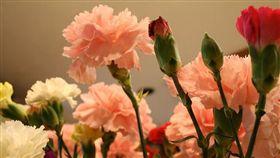 康乃馨 圖/攝影者Lindsey Turner, Flickr CC License https://flic.kr/p/RHpS1