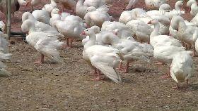 鵝毛五月雪2100