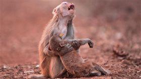 母猴抱著小猴子哀號(圖/翻攝自Avinash Lodhi臉書)