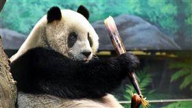 桂竹筍一直是大貓熊家族的最愛,台北市動物園今年改訂購「桂竹」中有「貴族」之稱的「轎篙筍」,讓大貓熊家族換換口味,圖為「圓圓」開心吃著轎篙筍。(台北市動物園提供) 中央社記者梁珮綺傳真 106年5月15日