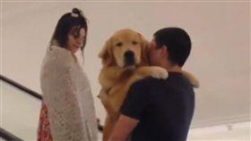 黃金,狗,寵物,萌,愛上毛們,毛孩 (圖片來源:臉書社團米克斯傳奇)