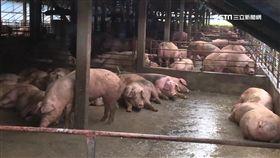 -肉豬-豬隻-豬肉-豬農-防疫-口蹄疫-