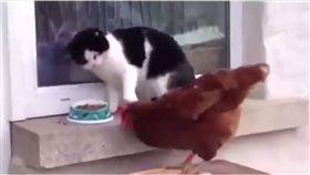 寵物,新奇,毛小孩,喵星人,貓,雞,搶食