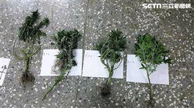 張男上網自學種植大麻技巧,再利用比特幣向國外網友購買種子,歷經三個月努力種出大麻,卻遭警方盯上後逮獲(翻攝畫面)