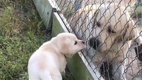 拉拉,寵物,母子,萌,毛孩,愛上毛們 (圖片來源:ig@bbflabradors)