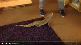 草原巨蜥Varanus exanthematicu (圖/翻攝自LL COOLREPS YouTube)