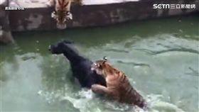 活生生的驢子被推下水,難逃虎爪。
