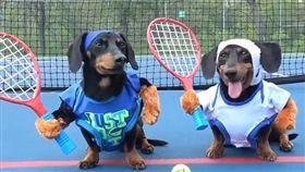 臘腸,網球,毛孩,萌,寵物,愛上毛們 (圖片來源:ig@crusoe_dachshund)