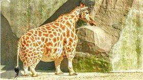 長頸鹿,阿嬤,短頸鹿,爆笑公社 圖/翻攝自爆笑公社