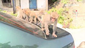 車關小獼猴1200