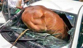 天氣太熱受不了!印度馬脫韁撞進轎車 駕駛遭擋風玻璃割傷