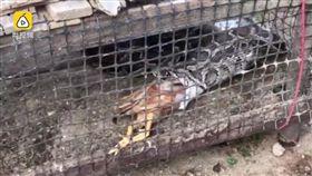 蟒蛇,吐獵物(圖/翻攝自YouTube)