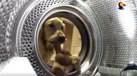 黃金獵犬叼走心愛娃娃。(圖/翻攝自The Dodo粉絲專頁)