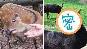 奈良,梅花鹿,餵食,鄙視,羊,飛牛牧場,不屑,表情,動物 (圖/翻攝自推特、爆廢公社)