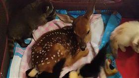 小鹿,幼,毛孩,萌,斑比,寵物,愛上毛們 (圖片來源:臉書@Hochatown Petting Zoo)