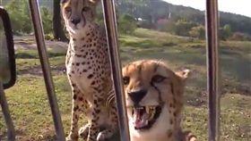 網友拍下獵豹叫聲,意外被萌翻。(圖/翻攝自推特帳號:@nukotanhshs)
